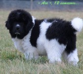 puppy cartmanX Carmen DEEP LOVE NEWFOUNDLANDS
